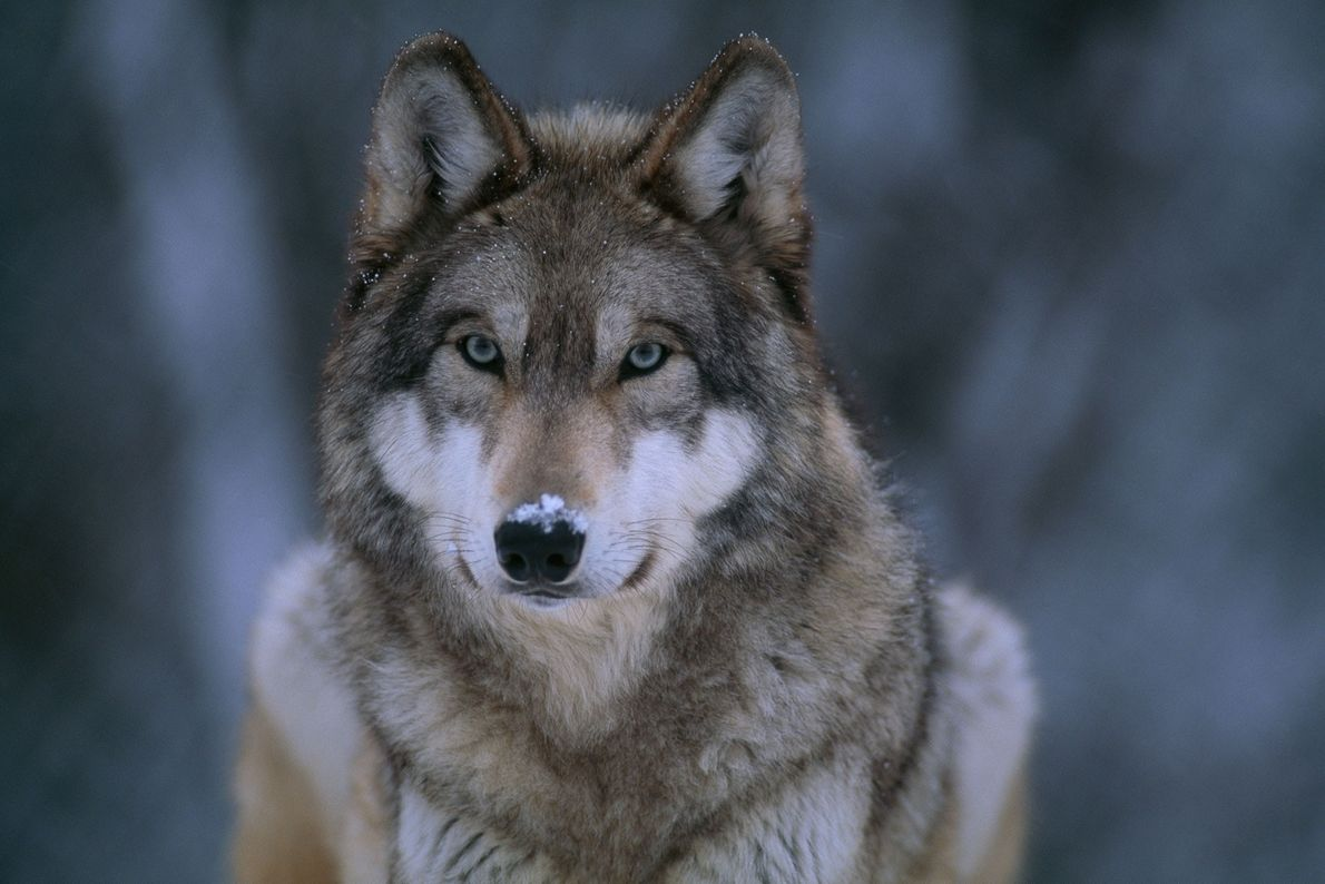 """Un lobo gris (""""Canis lupus"""") en la nieve. De los 10 animales más carismáticos del mundo, ..."""