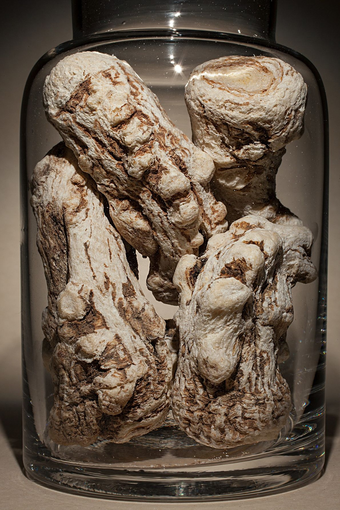 """Nombre común: raíz de angélica china Latín: """"Angelica sinensis"""" Chino: Dang Gui Algunos usos: hipertensión, dolor articular."""