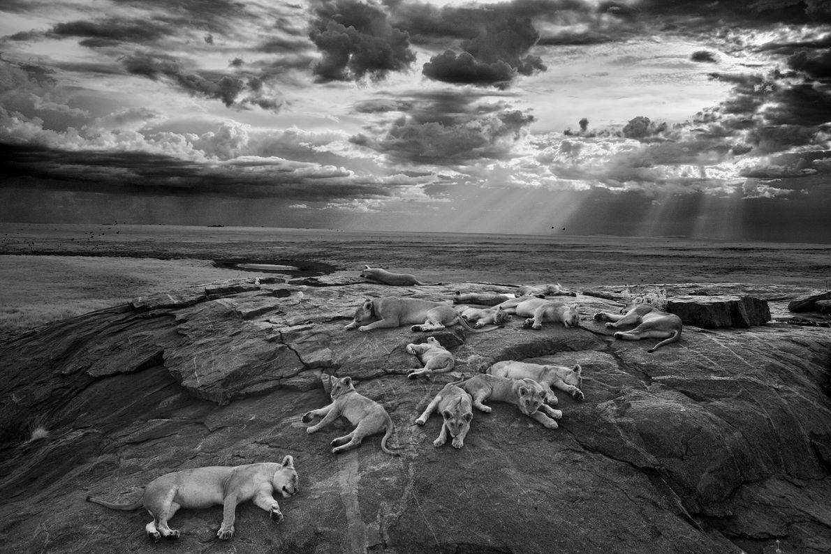 Las leonas y los cachorros de la manada Vumbi descansan en un kopje, un afloramiento rocoso, ...