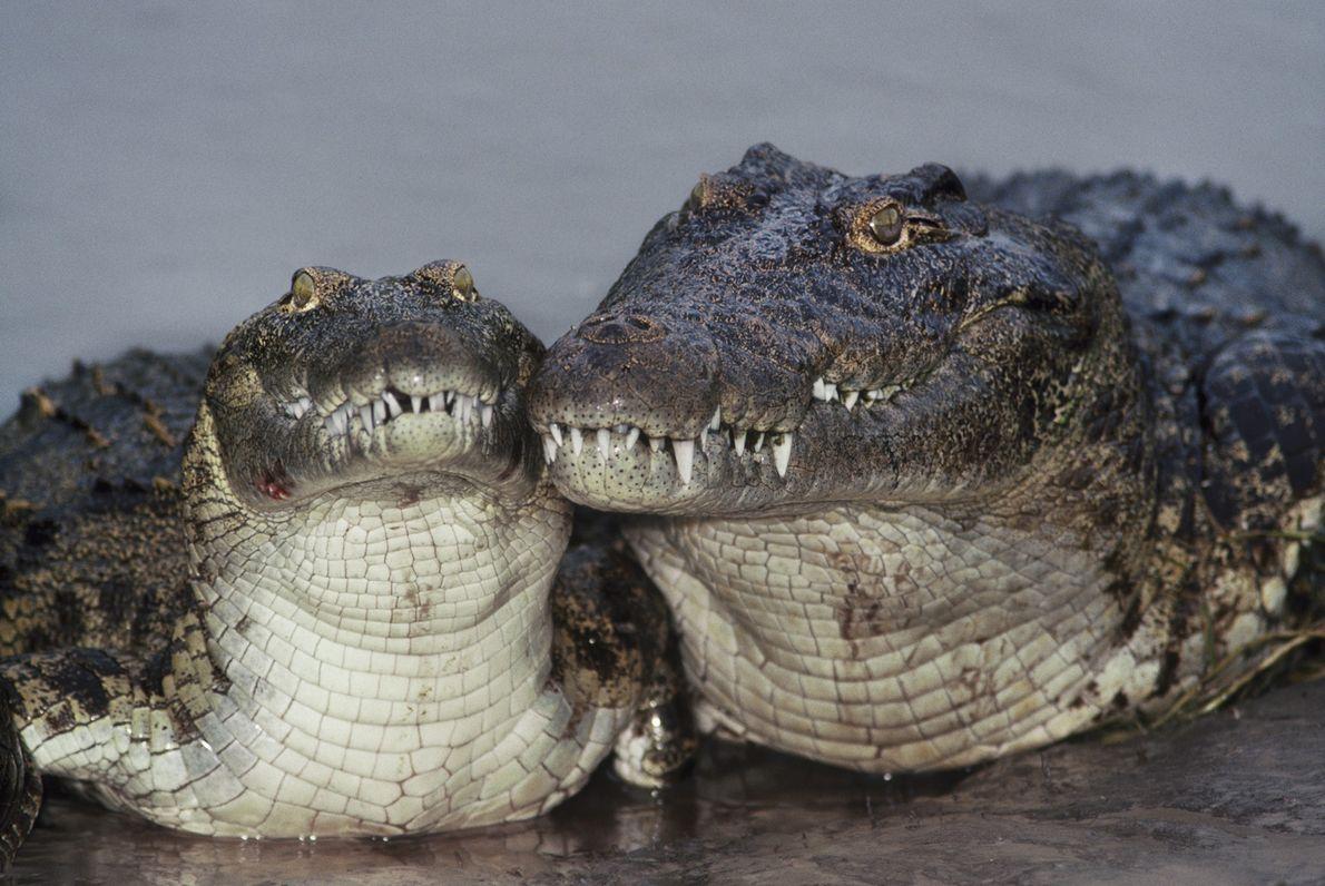 Los cocodrilos son casi sinónimos de Egipto, y de hecho, estos animales fueron su símbolo durante ...