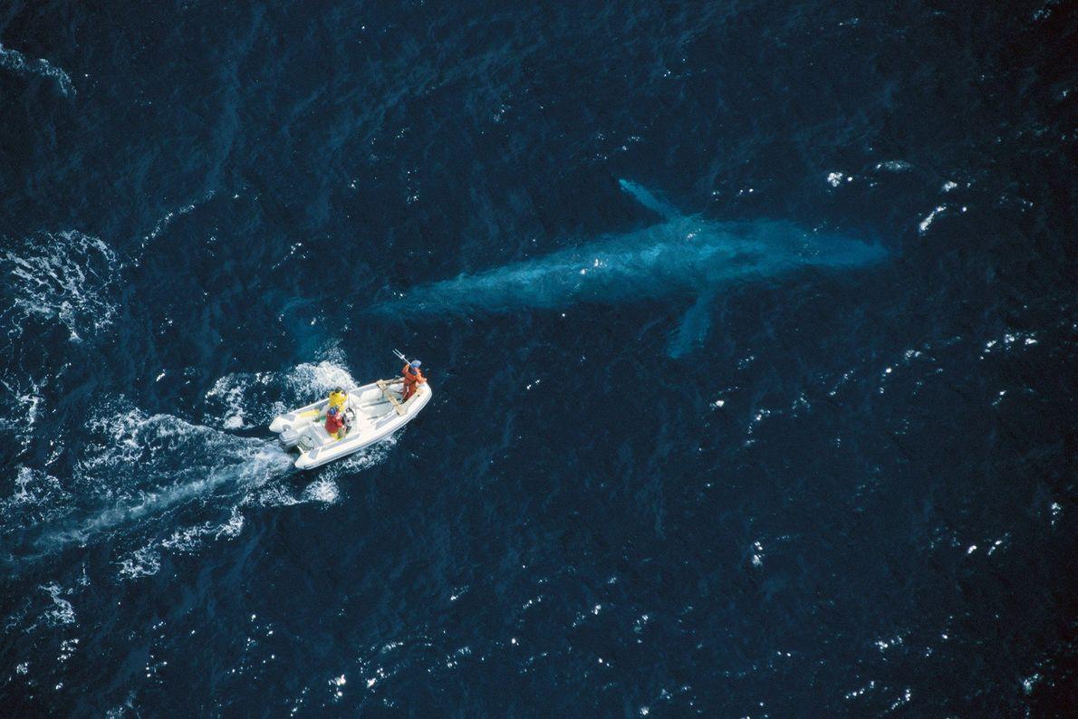 Los investigadores intentan etiquetar por satélite ballenas azules en la costa de California. Las ballenas azules, ...
