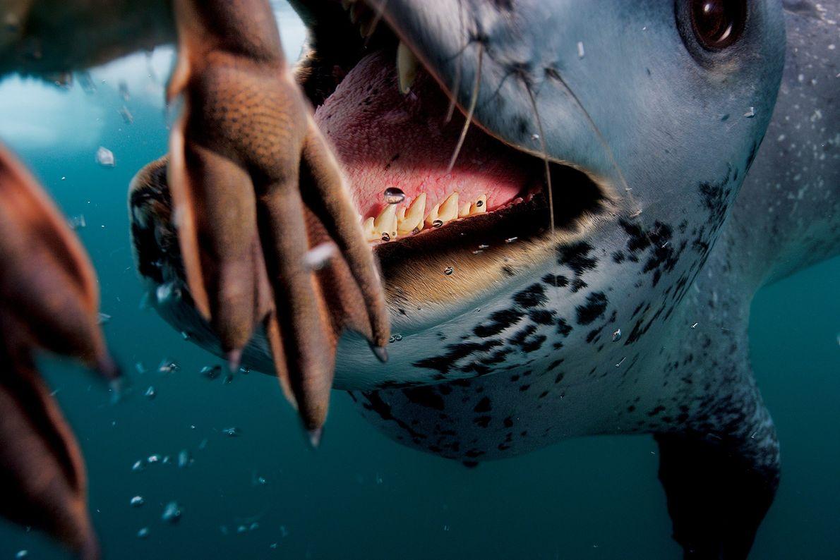 Una foca leopardo caza con éxito a un pingüino en la Península Antártica. Los carnívoros son ...