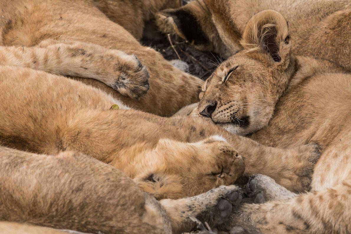 Grupo de leones profundamente dormidos en Masai Mara National Reserve, en Kenia.