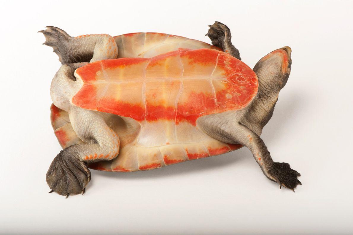 Una tortuga de vientre rojo y cuello corto (Emydura subglobosa) hace alarde de su lado colorido.
