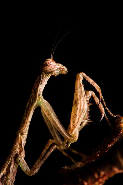 UnapequeñamantisverdeenelgéneroChloromiopteryx,conimpresionantesextremidades con púas.