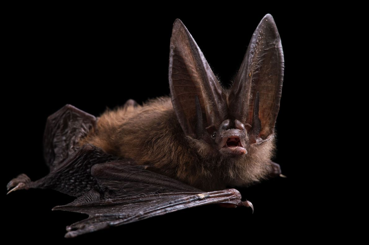"Un murciélago orejudo de Townsend (""Corynorhinus townsendii"") en el Sulphur Creek Nature Center."