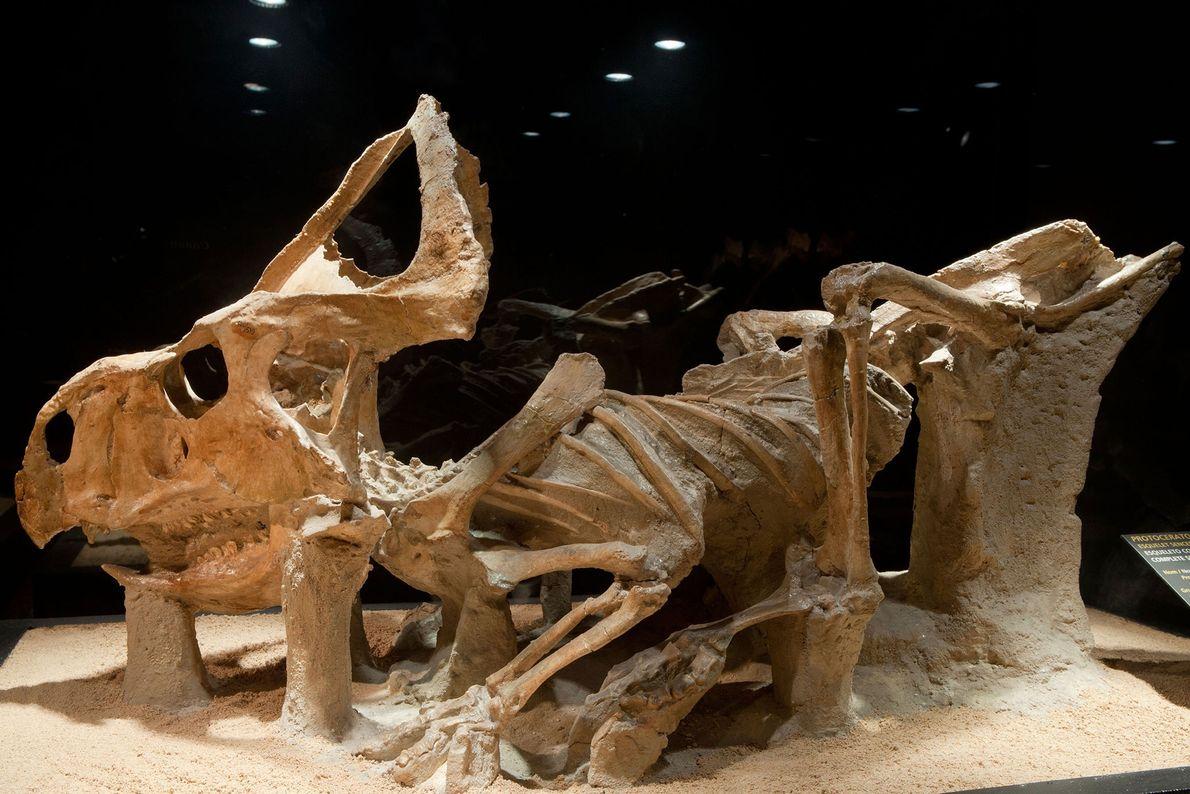 """Un """"Protoceratops andrewsi"""" (pariente del dinosaurio con cuernos """"Triceratops""""), en CosmoCaixa, Barcelona, en una exposición de ..."""