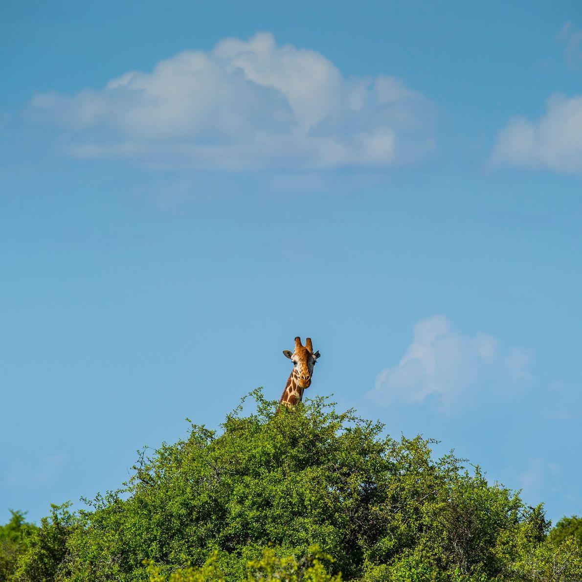 Una jirafa pasta de un árbol en Loisaba Wilderness en el norte de Kenia. La principal ...