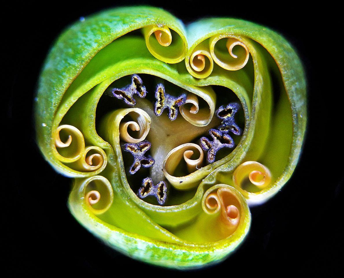 ¿Es este un pergamino verde mágico de The Dark Crystal? No. En realidad, es un bulbo ...