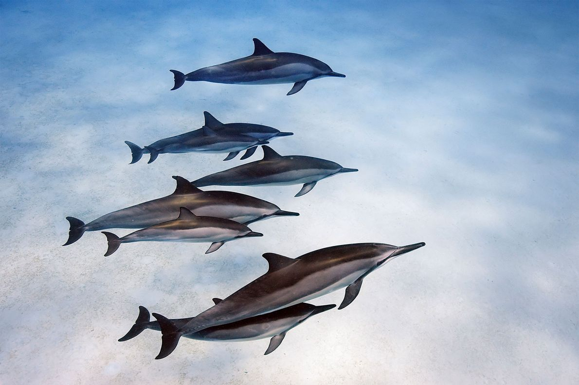 Los delfines giradores de Hawái muestran vínculos sociales fuertes.