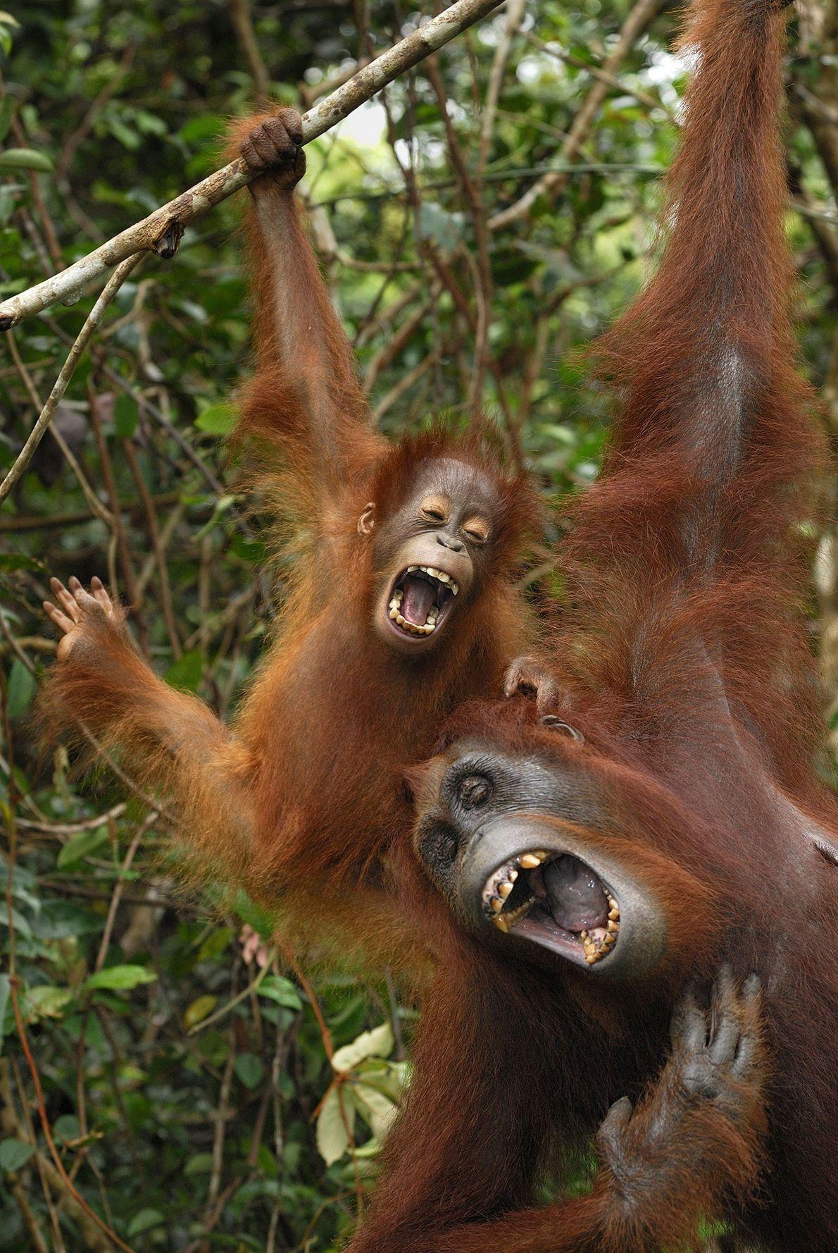 Los orangutanes realizan una gran variedad de vocalizaciones, tal como vemos en esta hembra y su ...