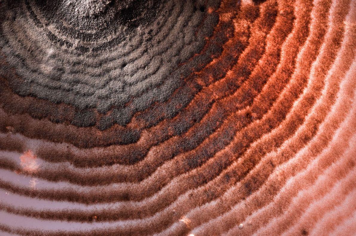 Los hongos del suelo proliferan en una placa de Petri en un laboratorio de la Universidad ...