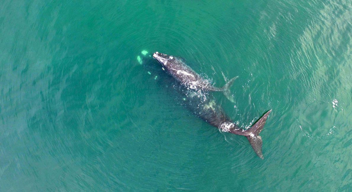 """""""Desde la vista de undrone una ballena franca austral comienza a sumergirse mientras suballenato acompaña su ..."""