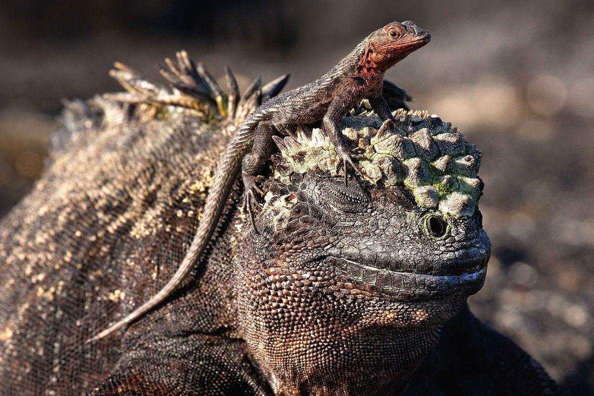 Reptil e iguana marina. Islas Galápagos.
