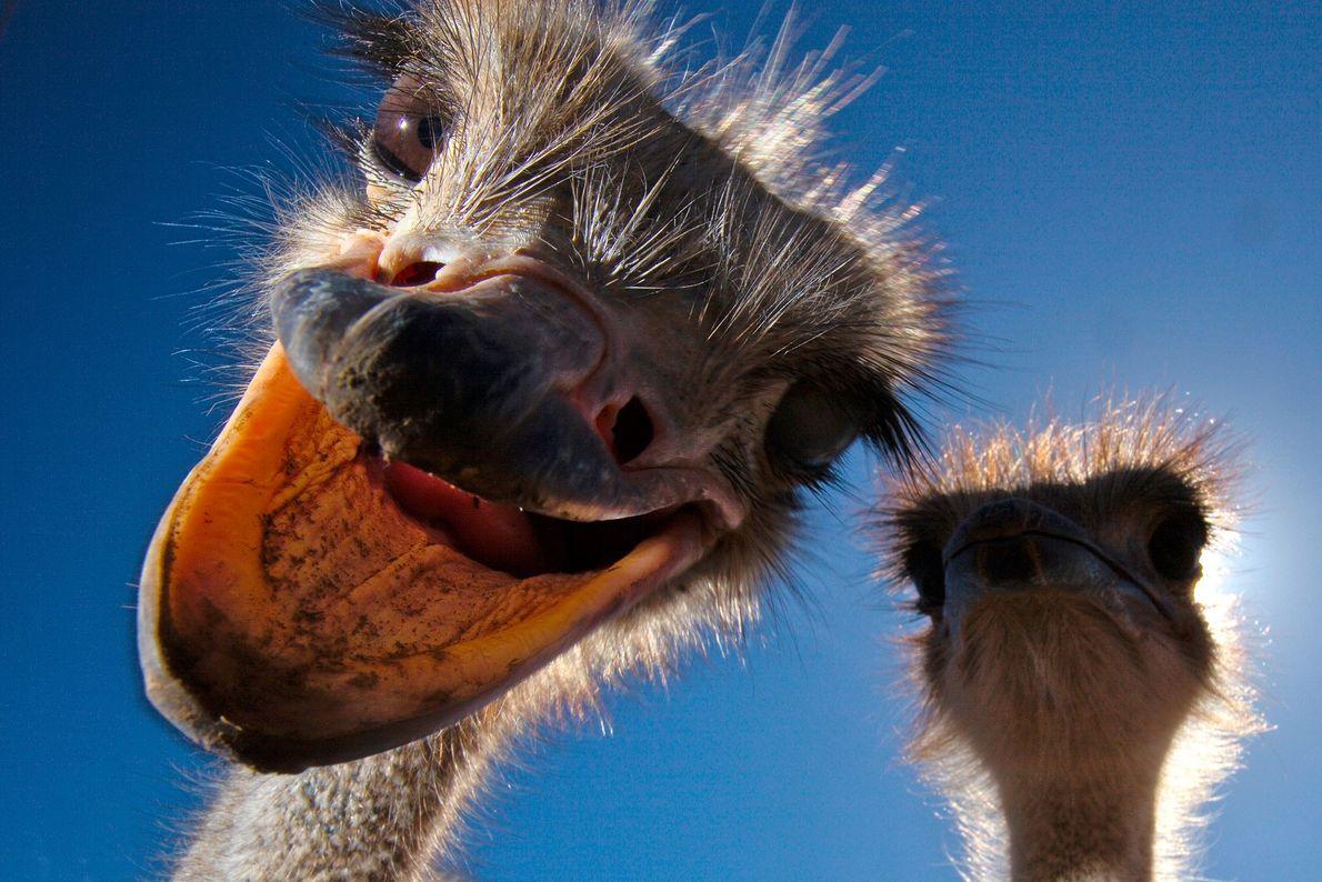 Avestruces. Sudáfrica.