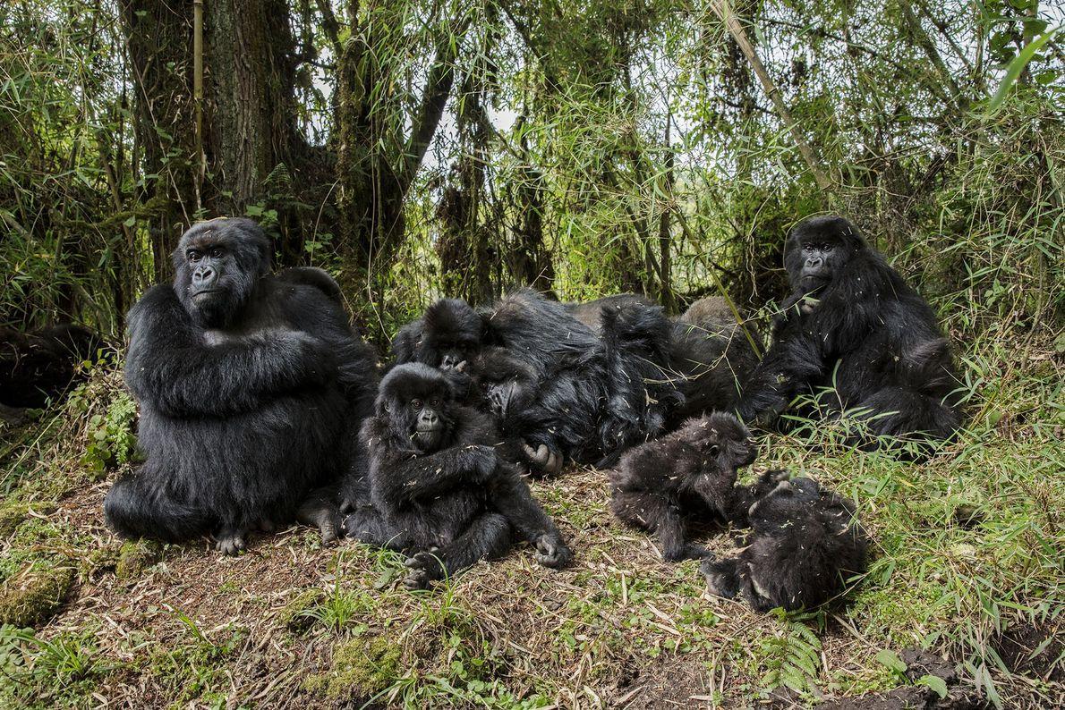 Los gorilas de montaña descansan en las laderas elevadas del Monte Karisimbi, Ruanda.