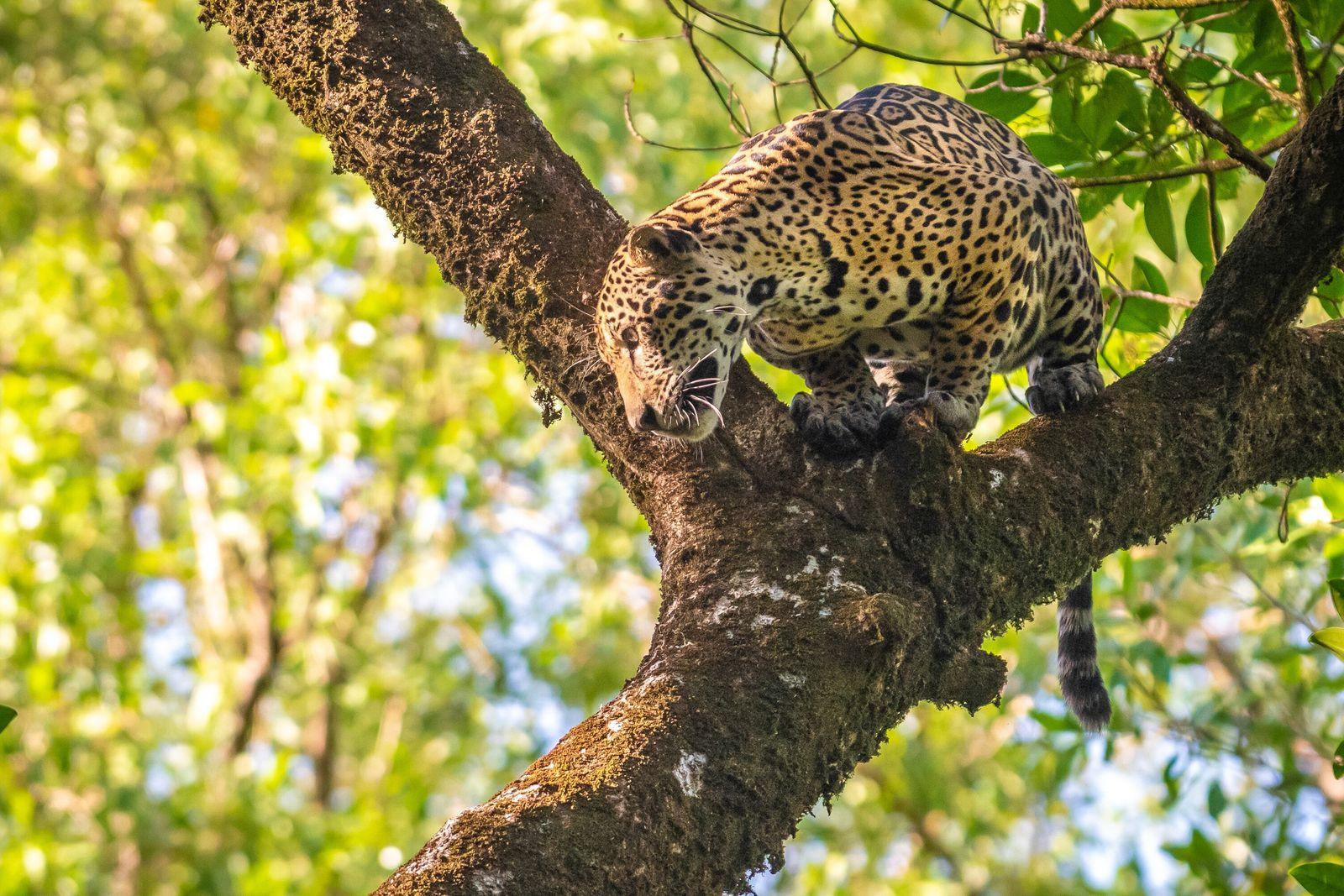 En los bosques de llanuras aluviales, los jaguares (Panthera onca) actúan de manera diferente a cualquier ...
