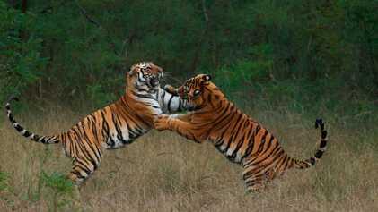 Descubre imágenes de tigres que muestran su poder y belleza