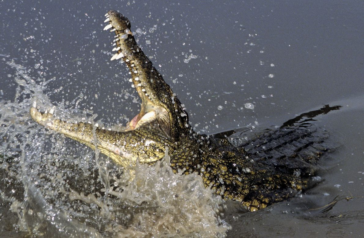 Si bien el cocodrilo del Nilo no se encuentra amenazado ni en peligro de extinción, su ...
