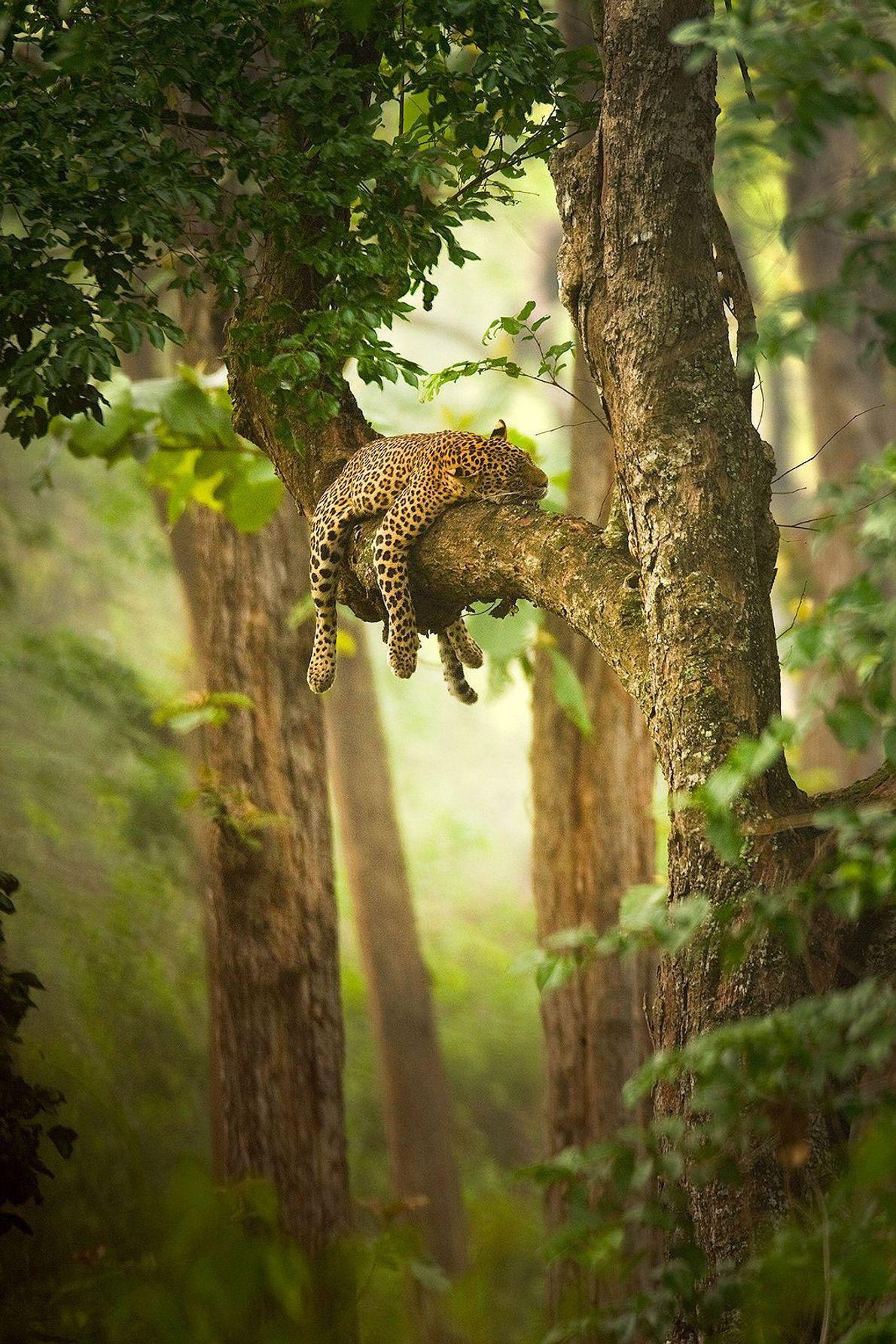 Un leopardo dormido sobra una rama de árbol.
