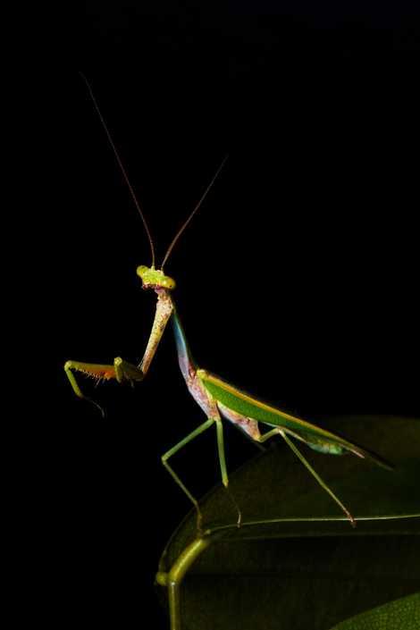 Un macho del género Parastagmatoptera, a veces llamado mantis del arco iris.