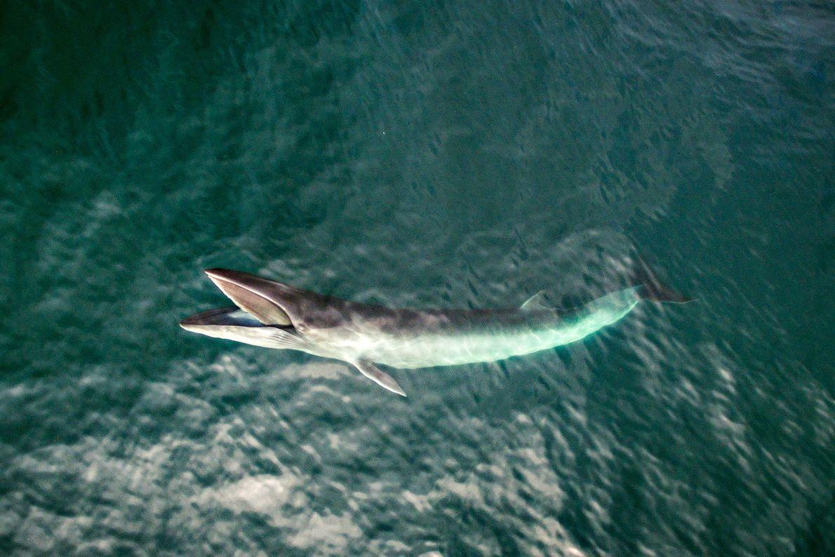 Las ballenas Minke se alimentan cerca de la superficie de Cashes Ledge, una región rica en ...