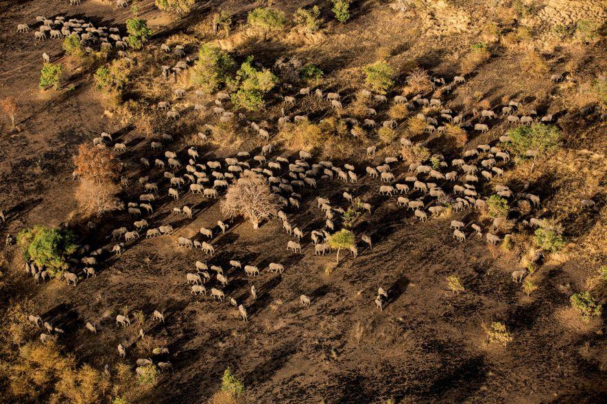 Una manada de elefantes se dirige a un bebedero en el Parque Nacional de Zakouma en ...