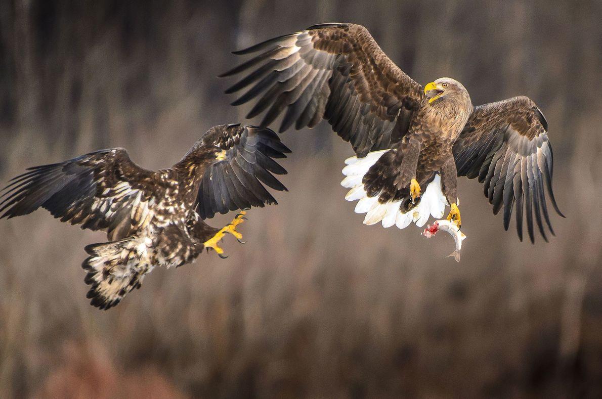 """""""Un águila y su cría se disputan un pez"""". – Youichi I."""