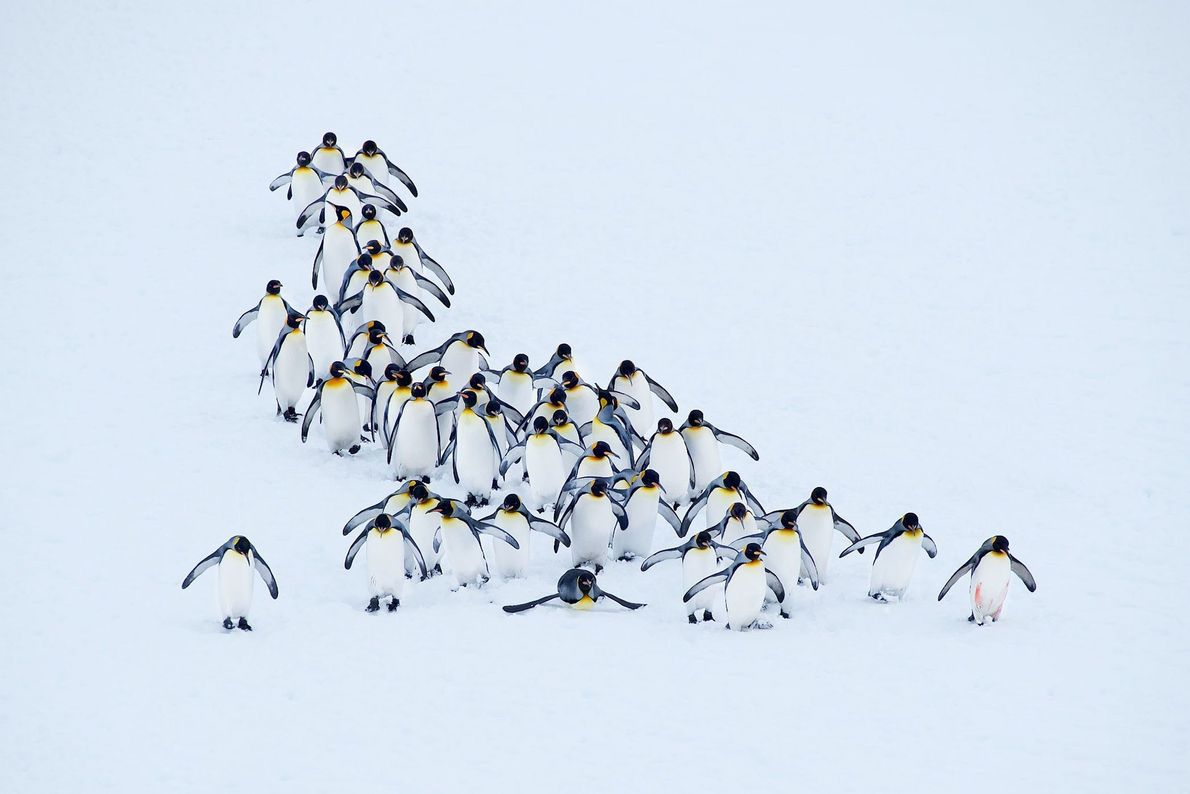 """""""Un pelotón de pingüinos rey en la bahía Right Whale en Georgia del Sur en el ..."""