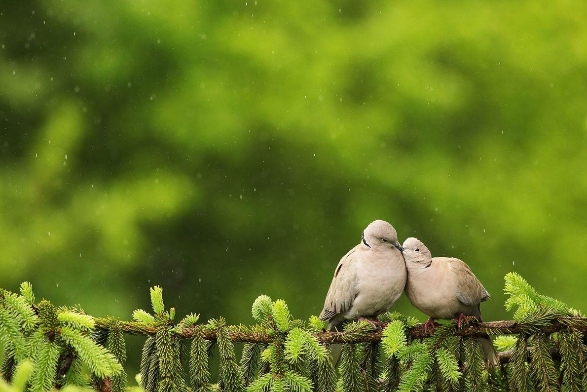 """""""Unas palomas se acurrucan en una rama bajo la lluvia"""". – Adrian Baltariu"""