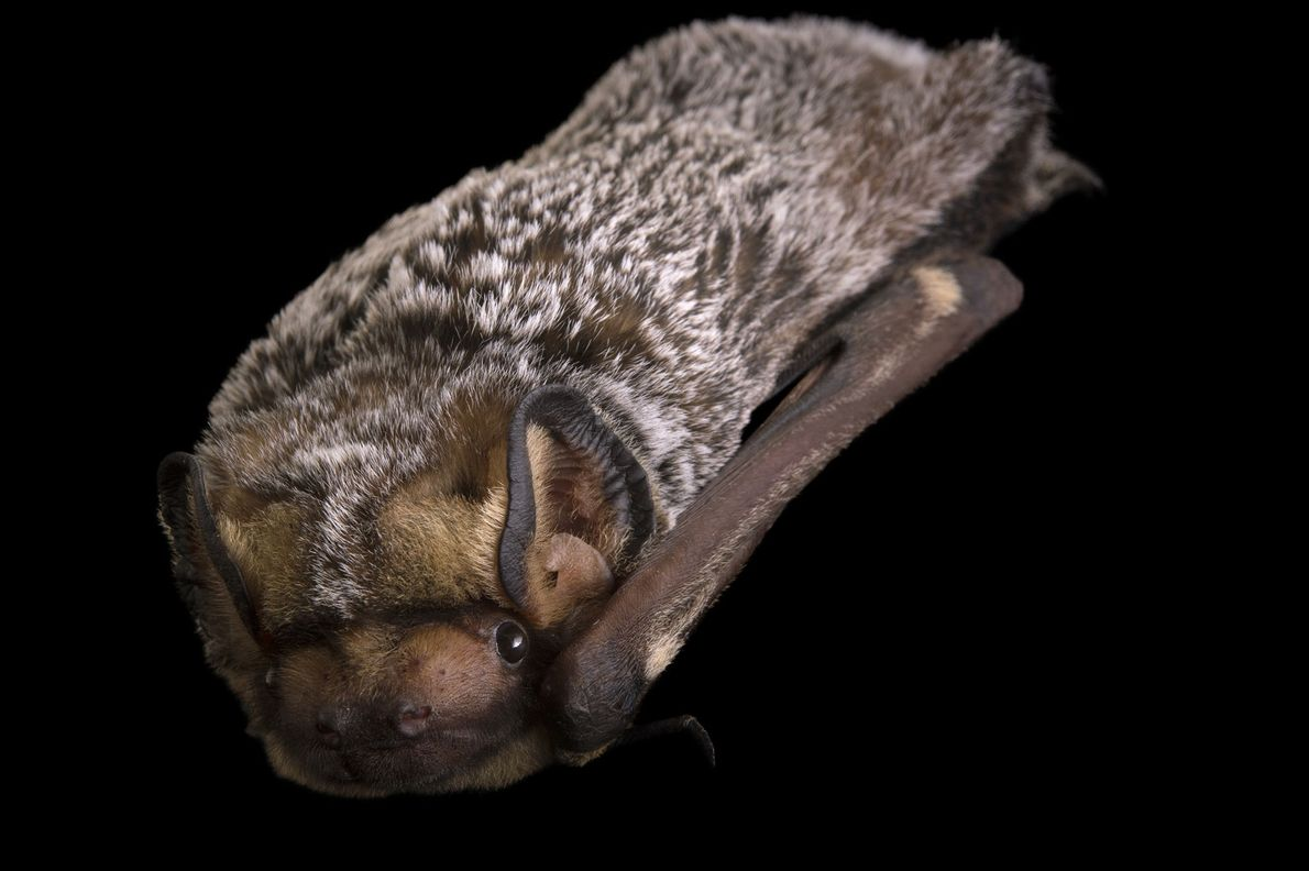 """Un murciélago ceniciento (""""Lasiurus cinereus"""") en el Sulphur Creek Nature Center."""