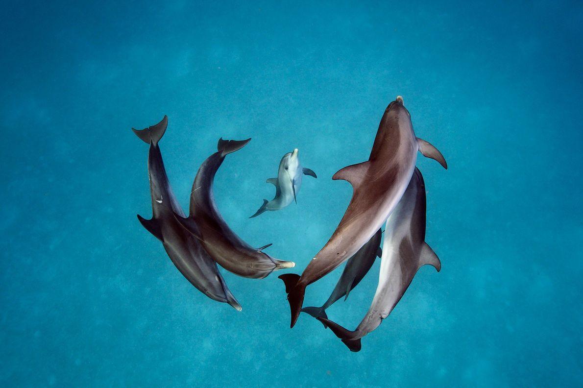 Durante 30 años, los científicos han intentado comprender cómo se comunican los delfines manchados (Stenella frontalis) ...