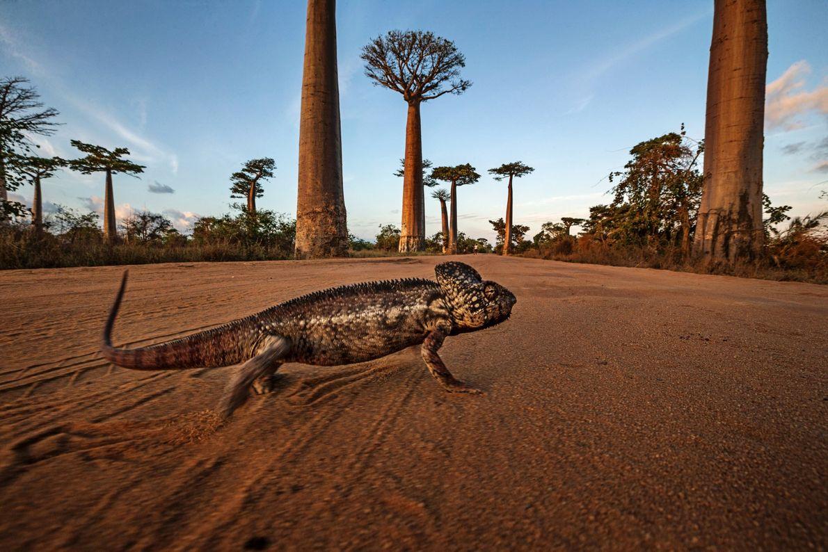 Este camaleón de Oustalet de dos pies de largo (0,6 metros) en Allee des Baobab, Madagascar, ...