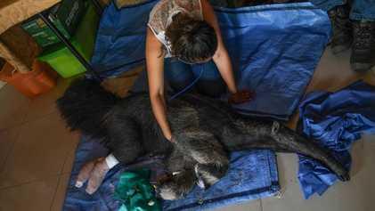 Amazonía: Los esfuerzos para ayudar a los animales afectados por los incendios