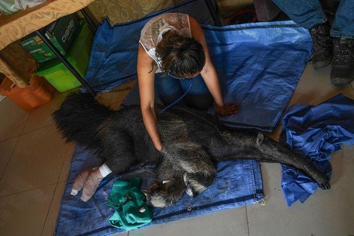 La bióloga Daniela Vidal monitorea los signos vitales del oso hormiguero hembra Valentina. Poco después de ...