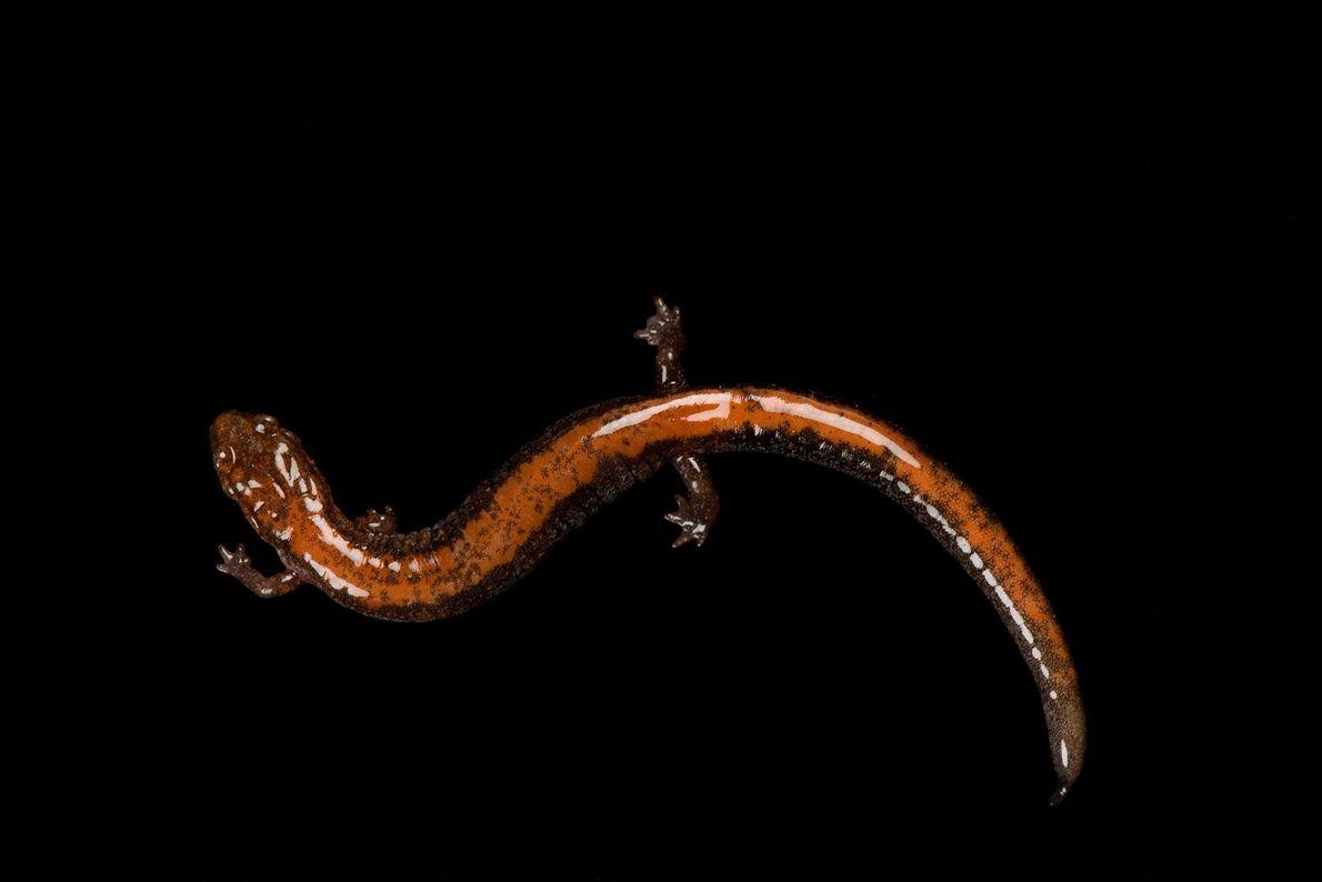 """Una salamandra """"Plethodon cinereus"""" en el Museo y Acuario Nacional del río Mississippi."""