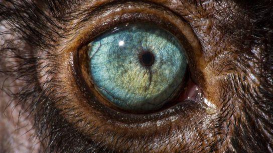 El ojo de un lemur negro de ojos azules, Eulemur flavifrons.