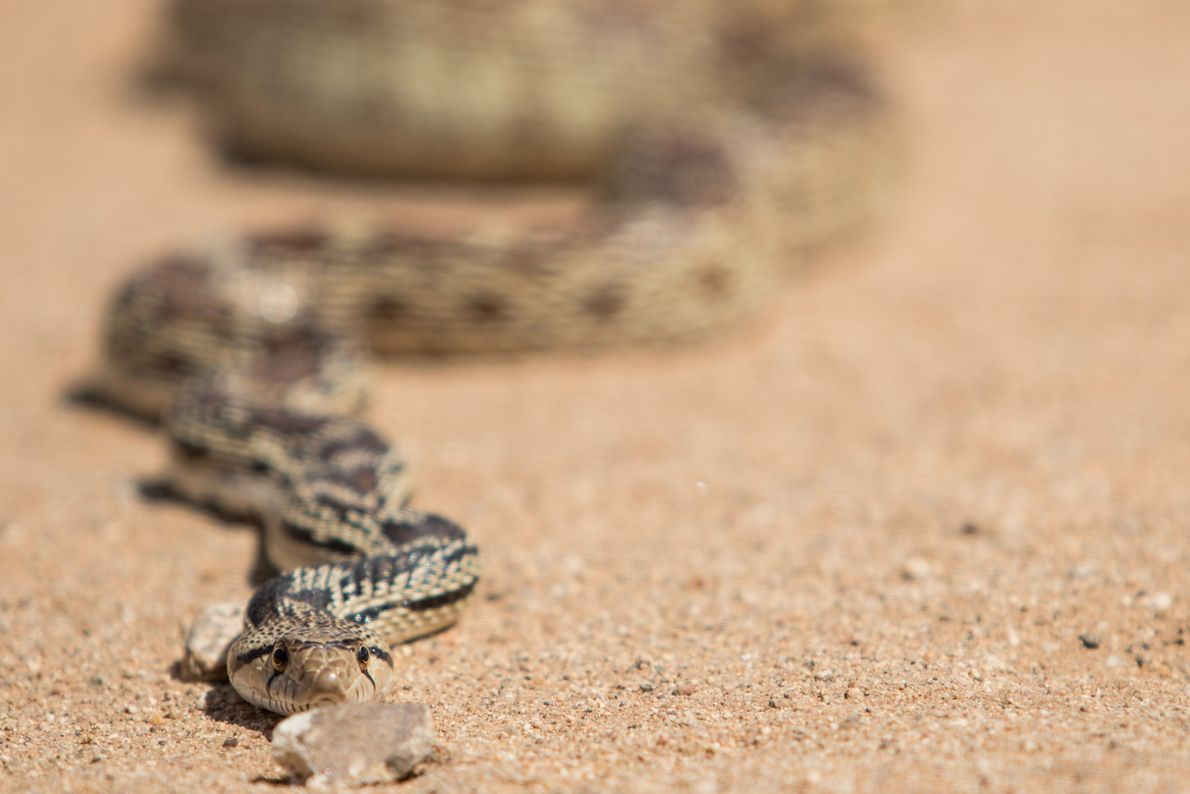 Serpiente de Gopher, Chloride, Arizona