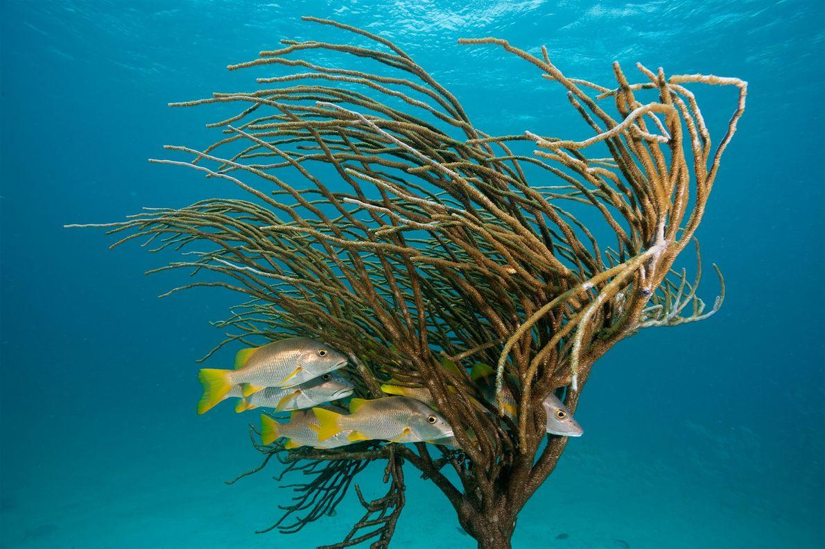 Unos Lutjanus apodus se esconden bajo una gorgonia.