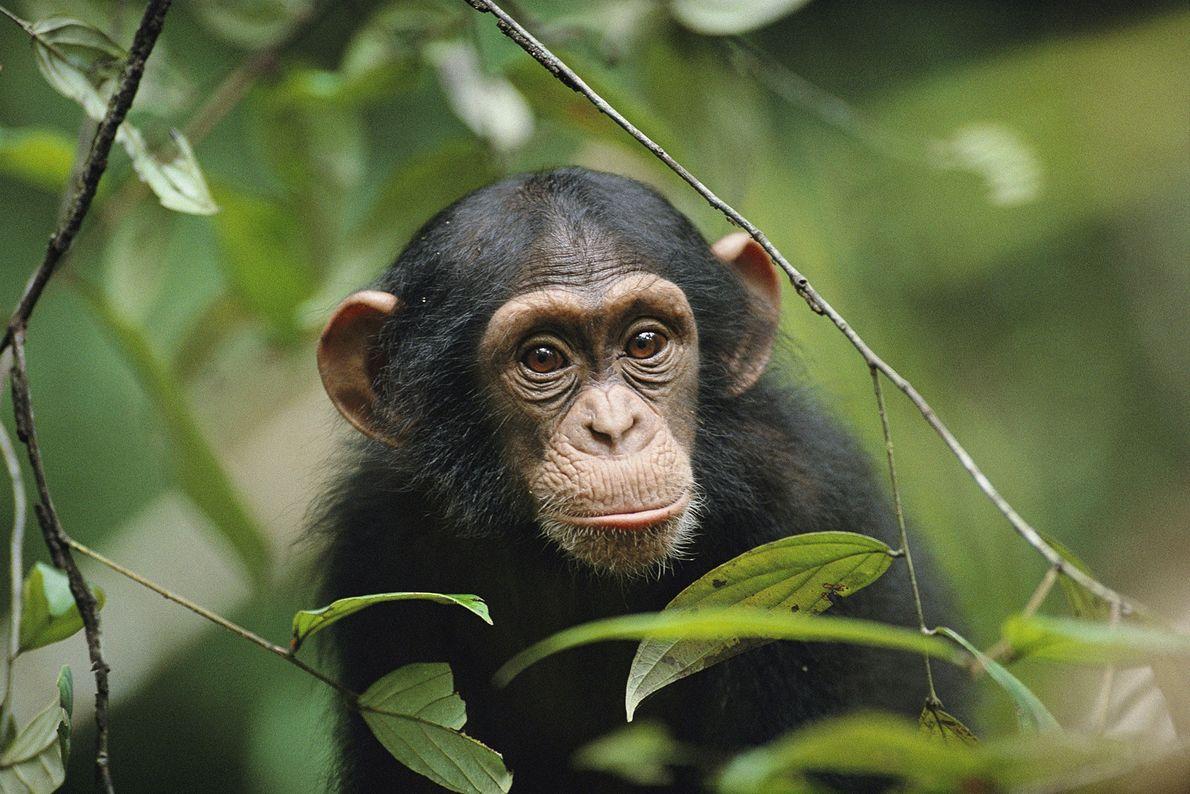 Un chimpancé joven se asoma entre las hojas en el Parque Nacional de Taï, en Côte ...