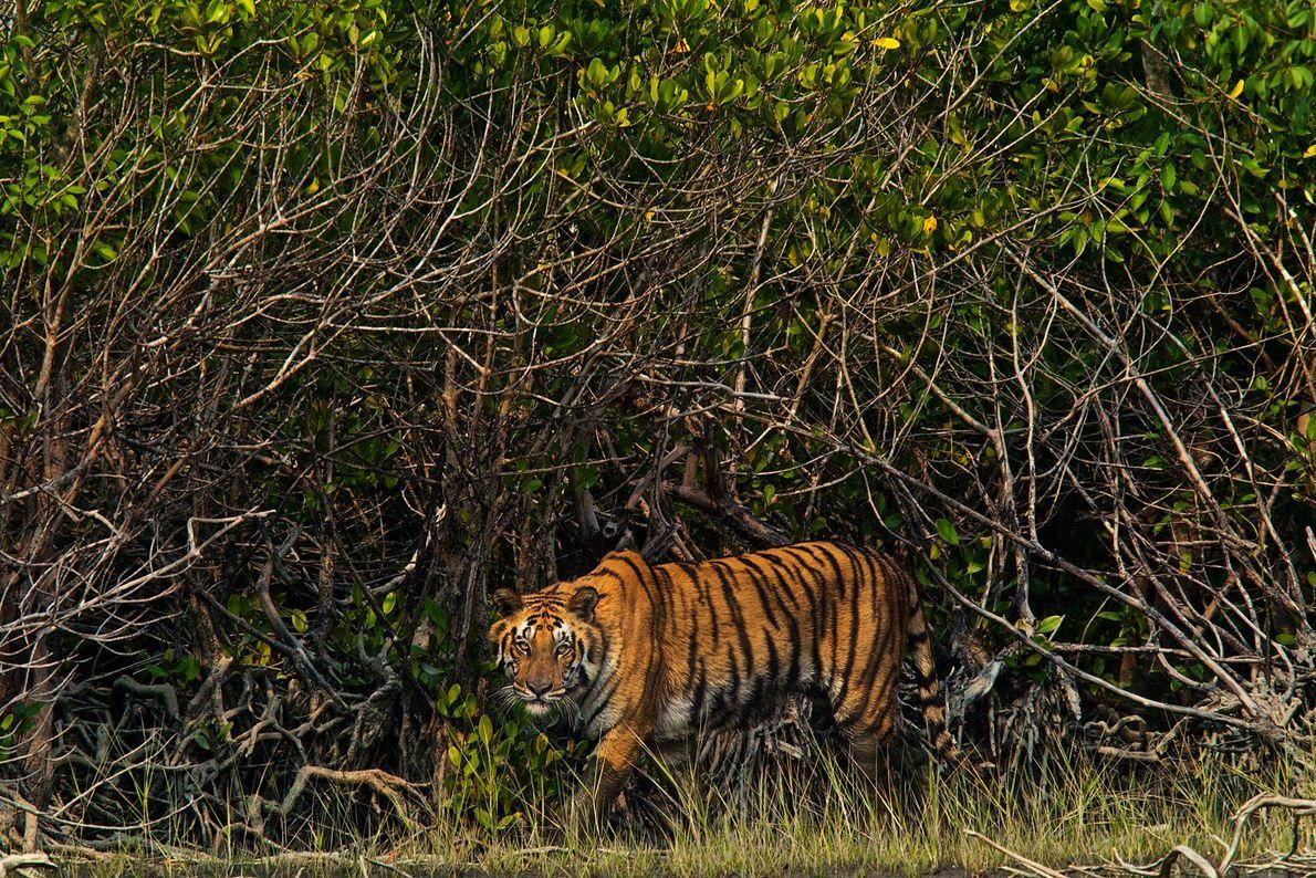 Un tigre camina entre los manglares en la región de Sundarbans en la India.
