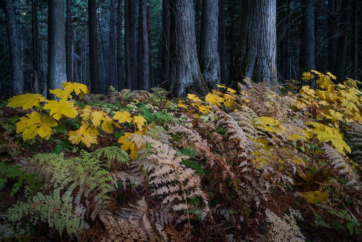 En el Glacier National Park, los bosques están padeciendo los efectos del deshielo temprano de la ...