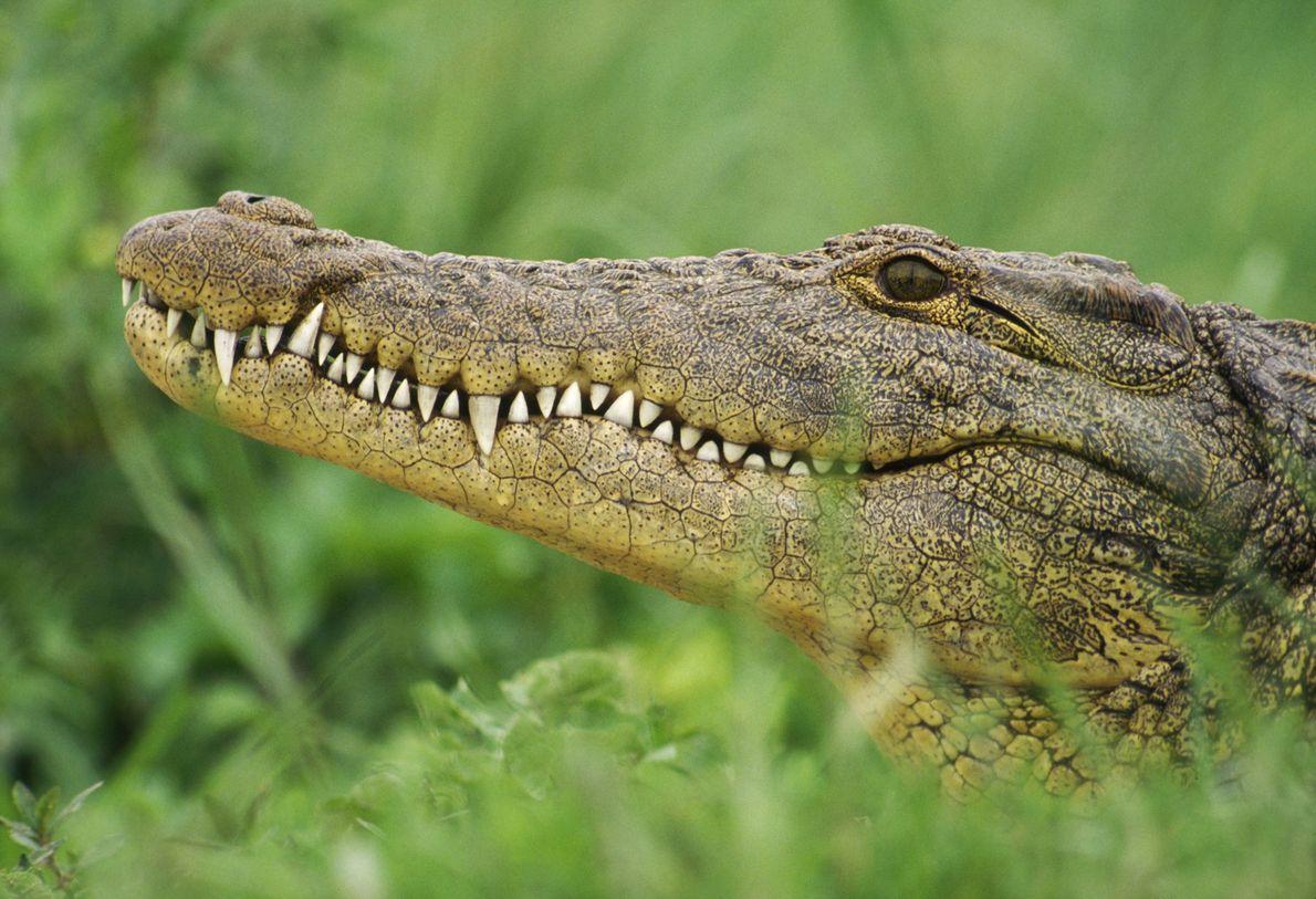 Los cocodrilos del Nilo, los cocodrilianos más grandes de África, alcanzan un tamaño máximo de seis ...