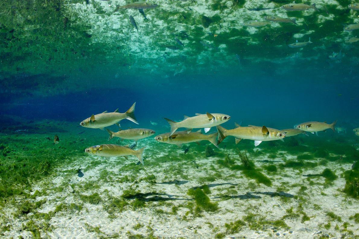 Los mújoles nadan en un lago del parque estatal Fanning Springs de Florida. Los mújoles son ...