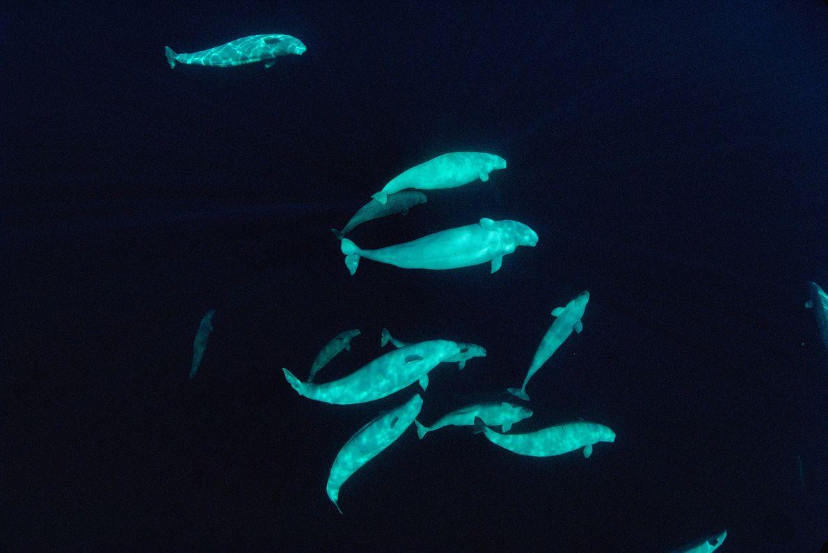 Una manada de belugas fotografiada a 60 metros bajo el mar en las aguas árticas de ...