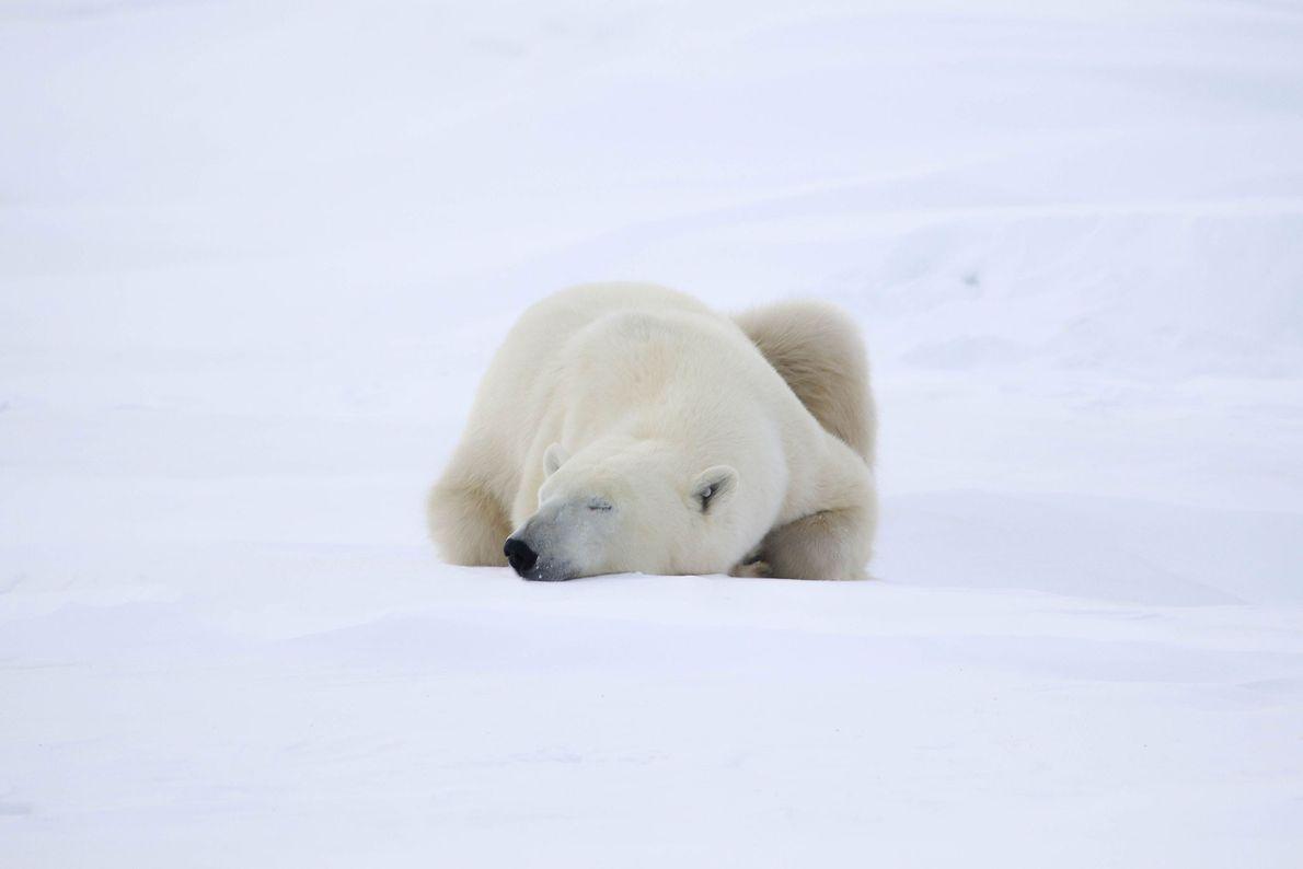Un oso polar duerme antes de dirigirse a la banquisa.