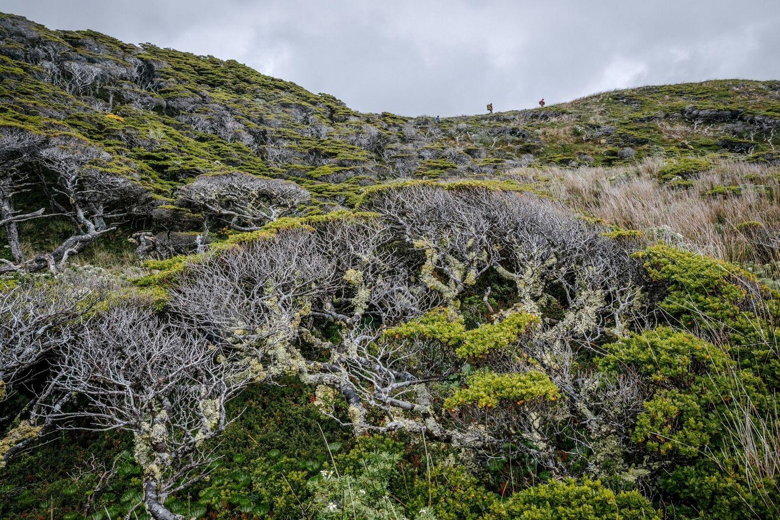Descubren el árbol más austral del mundo durante una expedición arriesgada