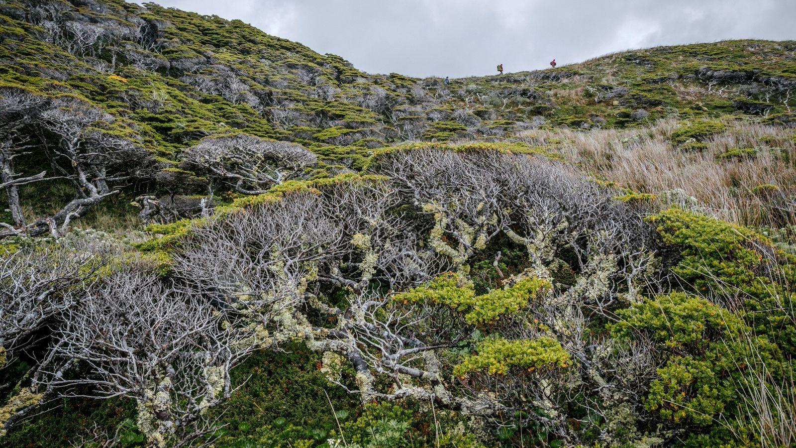 En busca del árbol más austral de la Tierra, los científicos atraviesan la espesura del bosque ...