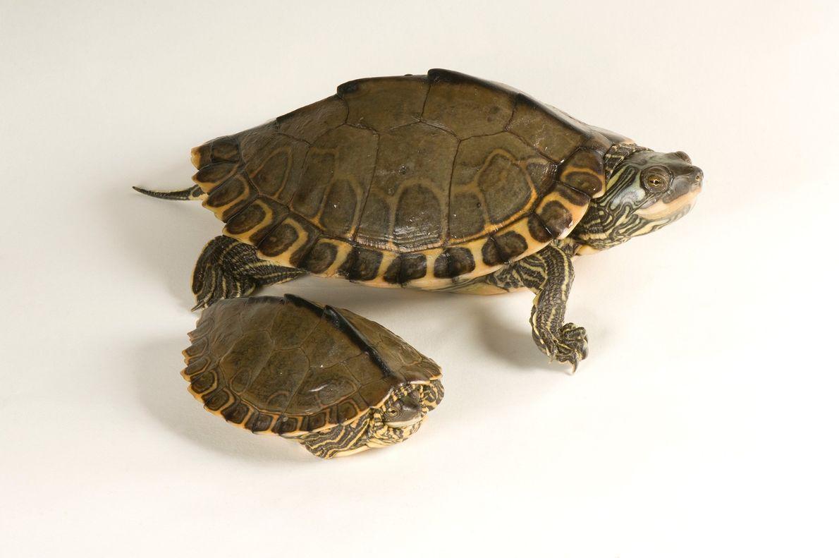 La tortuga de caja indochina (Cuora galbinifrons) de aspecto adornado es una especie en peligro crítico ...