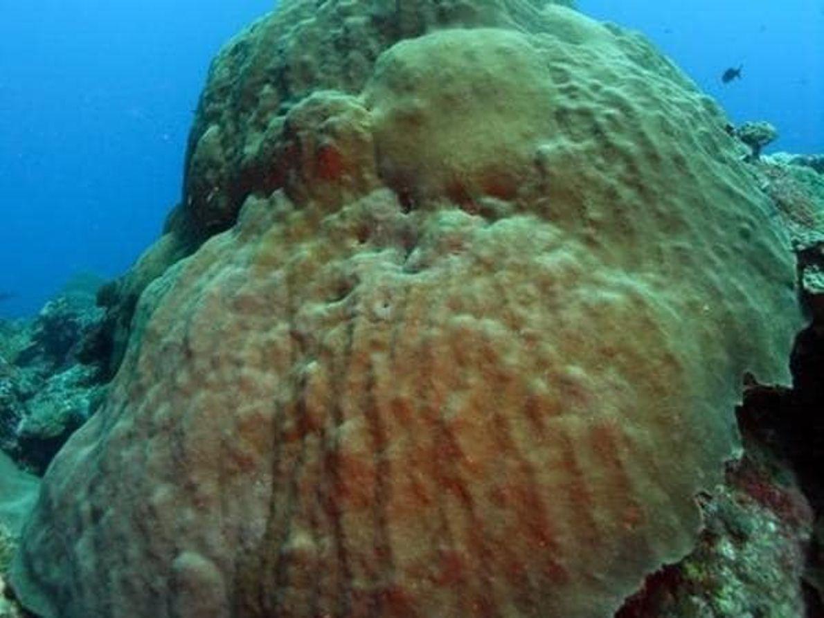 Esta especie de aspecto fuerte ya está clasificada en peligro de extinción en la Lista Roja ...